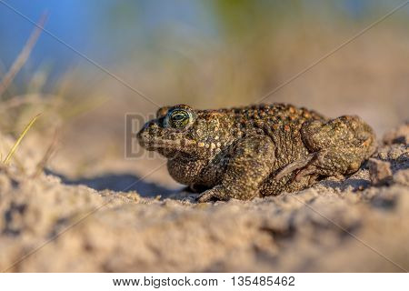 Natterjack Toad Sideview