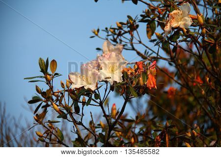 White Azalea flowers with blue sky behind