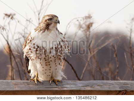 Majestic Red Tailed Hawk (Buteo Jamaicensis) perched on a wooden fence facing right with feathers blowing softly in the breeze