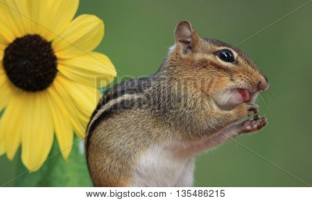 Cute Eastern Chipmunk standing next to sunflower licking hands