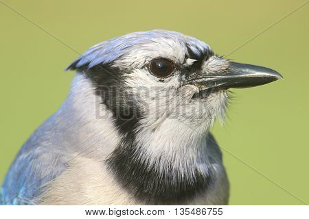 Close-up of a Blue Jay (corvid cyanocitta) with a green background