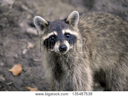 closeup portrait of a curious wild raccoon