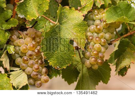 detail of ripe grapes on vine in vineyard