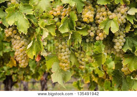 closeup of ripe Riesling grapes on vine