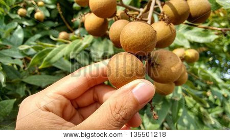 Longan Bunch (Dimocarpus longan). A bunch of fresh and unpeeled Longan held by white woman's fingers in front of natural tree background.
