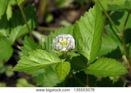 Flower of European dewberry (Rubus caesius) under the summer sun