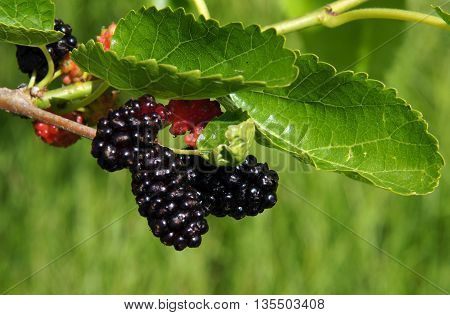A branch with some ripe and unripe fruits of mulberry (morus nigra)
