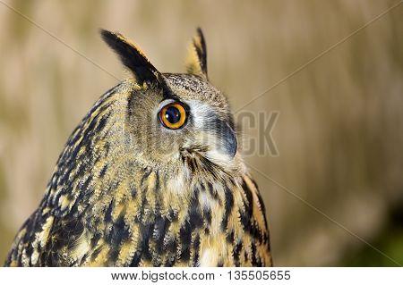 portrait of owl bird in nature background