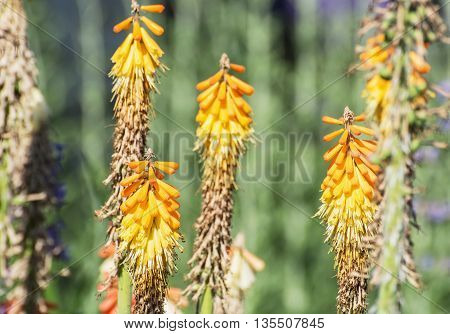 Torch lily - Kniphofia uvaria in the garden. Seasonal natural scene. Close up. Beautiful flowers.