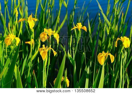 Yellow Daffodils Grow Near The Shore Of The Lake
