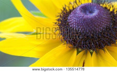 Macro view of a black eyed Susan flower in full bloom