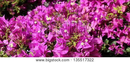 Violet Background Of Beautiful Flowers In Bloom