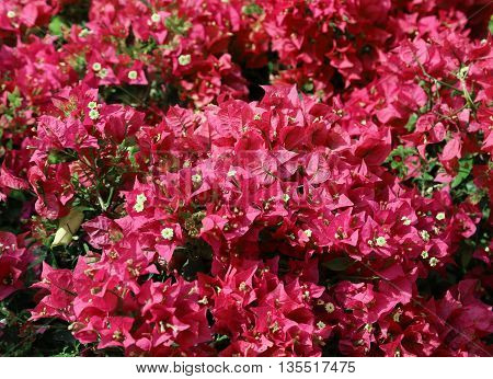 Background Of Red Flowers In Bloom