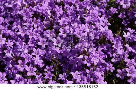 Purple Flowers Called Campanula Or Bellflower