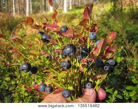 Beautiful blueberry Bush with ripe sweet berries growing in a pine forest