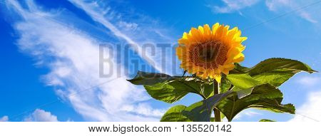 Beautiful sunflower against blue sky.Sunflower on Blue Sky background.