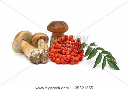 bunches of red mountain ash and wild mushrooms isolated on white background. horizontal photo.
