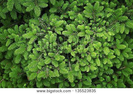 Beautiful coniferous background