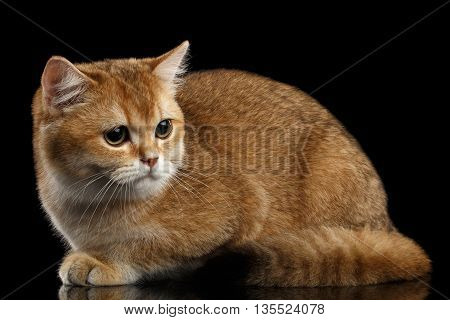 Cute British breed Cat Gold Chinchilla color Lying and Sadly Looks, Isolated Black Background, side view