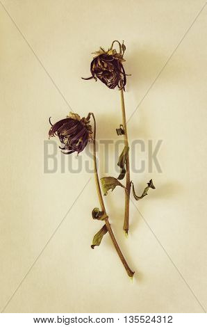 Two withered buds on a paper background