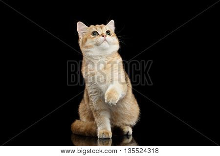 British breed Cat Gold Chinchilla color Sitting, Looking up and Raising up paw Isolated Black Background, front view