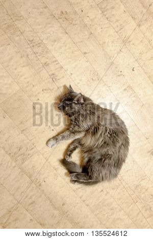 Cat top view lying on floor with copy-space.