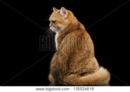 Fat British breed Cat Gold Chinchilla color Sitting Back view and Looking Grumpy Isolated Black Background