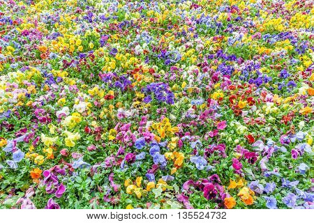Flower view of colorful pansies in the garden.