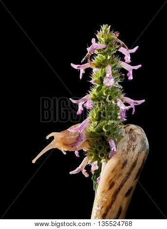 Giant Slug Twist Around Inflorescence