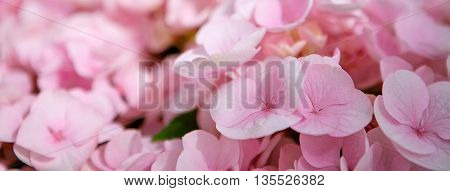 Pink flower hydrangea background close up. Close up of a group blue and pink hydrangea.