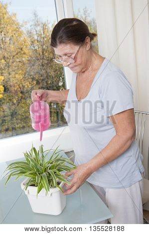 Elderly woman takes care of the potted plant.  Studio photography. Houseplant - Chlorophytum.
