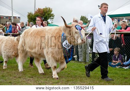 NEWBURY, UK - SEPTEMBER 21: Handlers parade the reserve Champion Highland cattle winner around the main show arena during the grand parade at the Berks County show on September 21, 2013 in Newbury