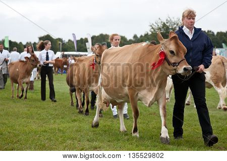 NEWBURY, UK - SEPTEMBER 21: Handlers parade a selection of Jersey cows around the show arena for the public to view during the grand parade at the Berks County show on September 21, 2013 in Newbury