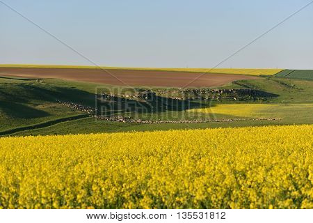 Flock of sheep on a hill between rape field and clear blue sky