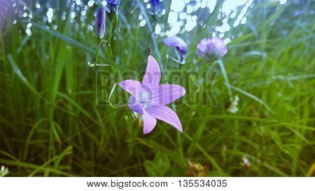 Молодой цветок колокольчик, выступающий бутоном из травы