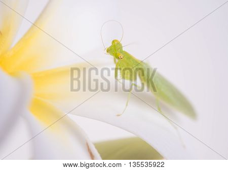 closeup mantis grasshopper insect locust on white background.(animal in nature)