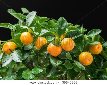 Ripe tangerine fruits on the tree. White background.