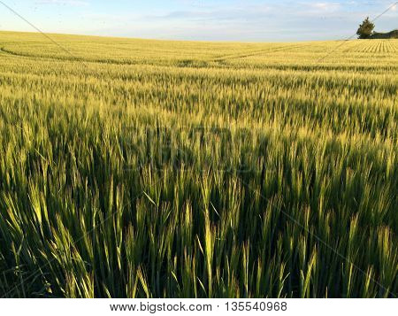 A beautiful barley field in the evening