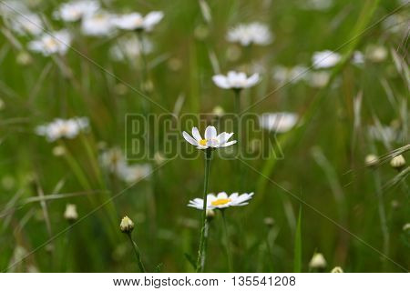 Flowers of a corn chamomile (Anthemis arvensis)