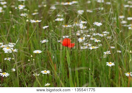 A field with common poppy and corn chamomile flowers.