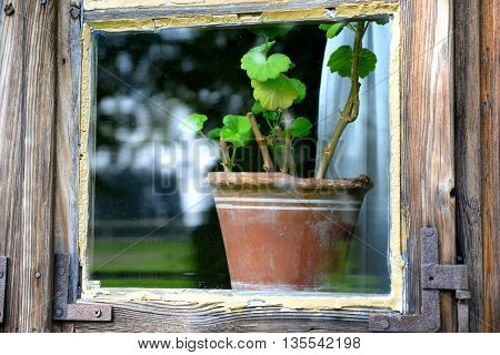 old wooden window with a flower geranium in a pot