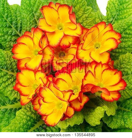 Beautiful primula with green leaves. Top view.