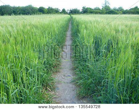 Narrow Path Through Green Field