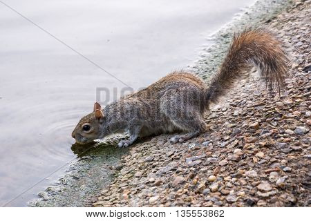 Greyish brown European squirrel drinking from a river