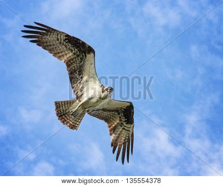 an osprey searching for food flying in the sky