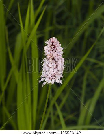European Bistort or snakeweed Bistorta officinalis pink flowers with dark bokeh background macro selective focus shallow DOF