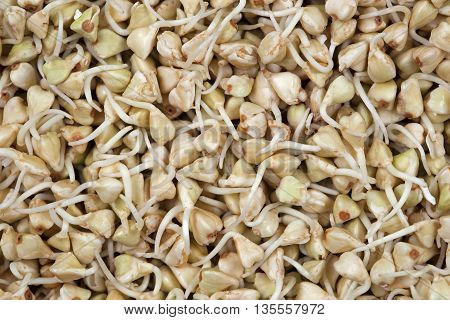 Seed sprouts green buckwheat sprouts. Green sprouts buckwheat.