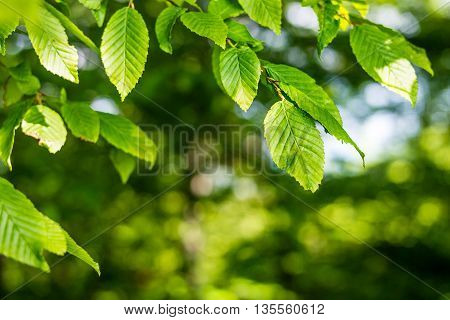 Fresh green leaf backgrounds. Shallow depth of field. Green fresh leaves on tree with shallow depth of field.