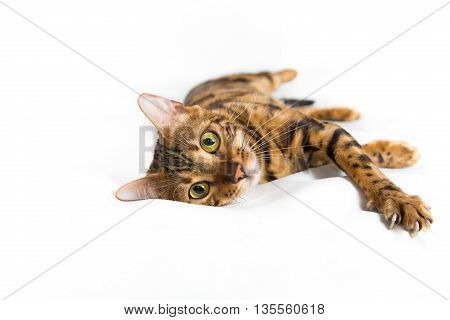 Isolated bengal domestic cat laying on white background in studio and looking at the camera, copy space