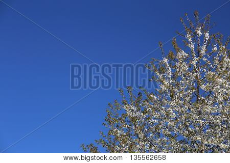 Top Of Fruit Tree With White Blossoms In Front Of Blue Sky. A Polarization Filter Was Used